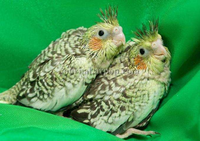 Мокка: «Это не может прийти сразу, разведение птиц — это годы труда.»