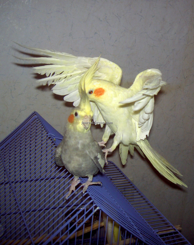 Орлица похищает орла. Автор фото - Nataly.Myr