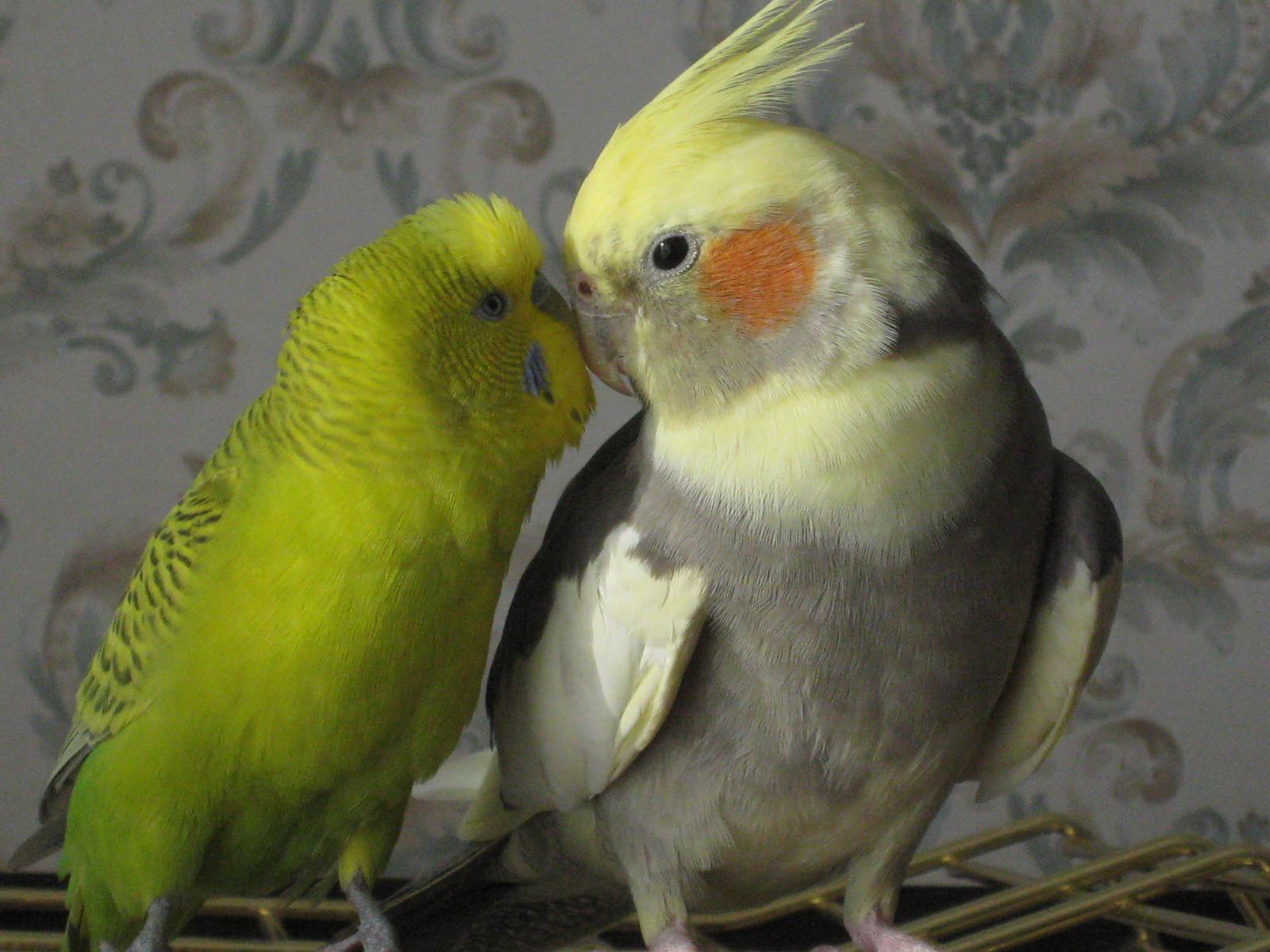 купить попугая корелла в украине