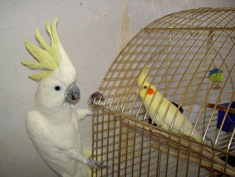 Домашние условия с попугаями корелла