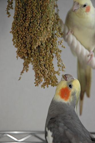 Избыточный вес у попугая