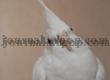 Сложности выведения птенцов окраса альбино