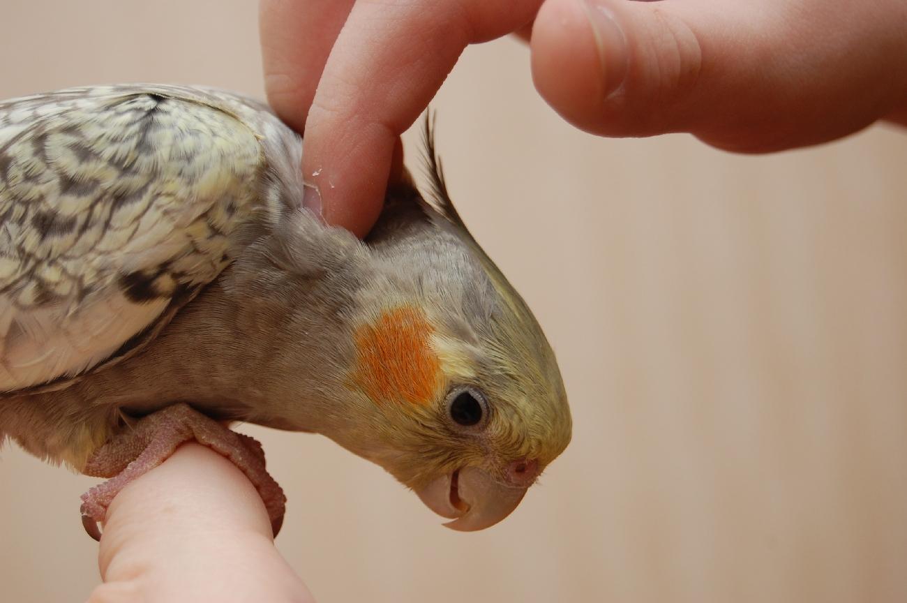 Покупка здоровой птицы