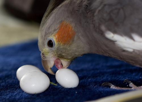 Затрудненная яйцекладка