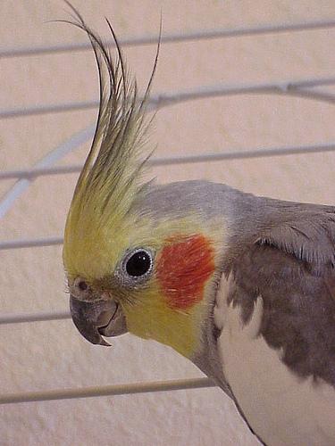 Мифы и реальность. Чем мы можем и не можем заразиться от попугаев.
