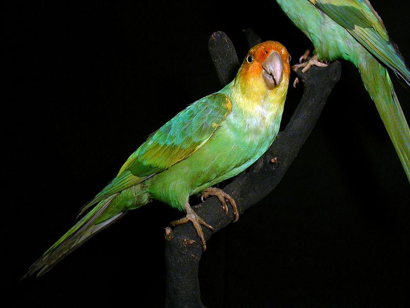 Исчезающие виды попугаев