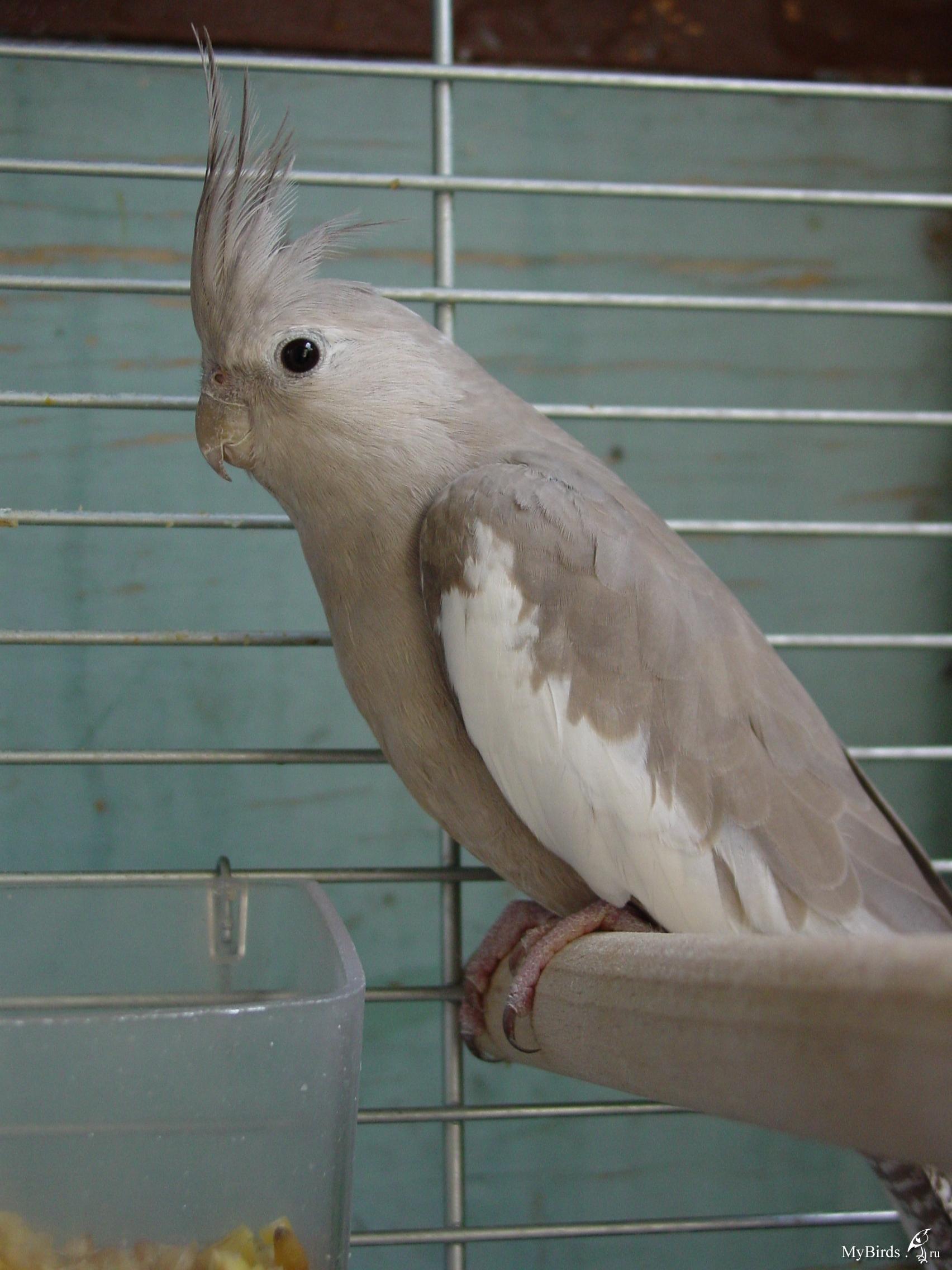 Опухоли у попугаев