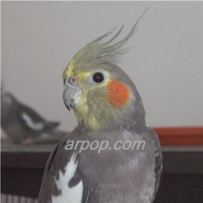Как наладить контакт с попугаем