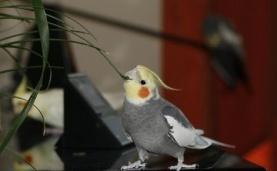 Воспаление кишечника у попугаев