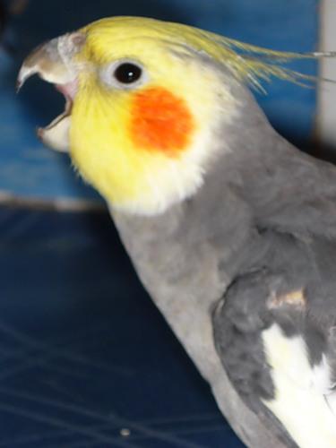Птица подавилась? Или особенности поведения корелл