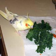 Заболевания печени у попугаев